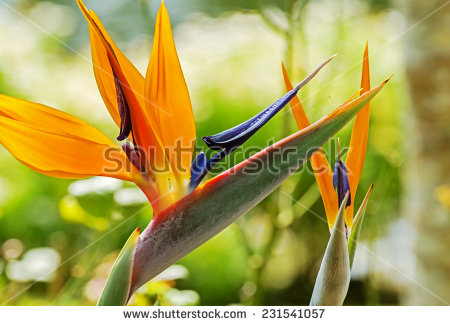 Green-throated Bird Of Paradise clipart #14, Download drawings