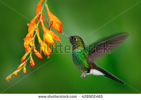 Green-throated Bird Of Paradise coloring #11, Download drawings