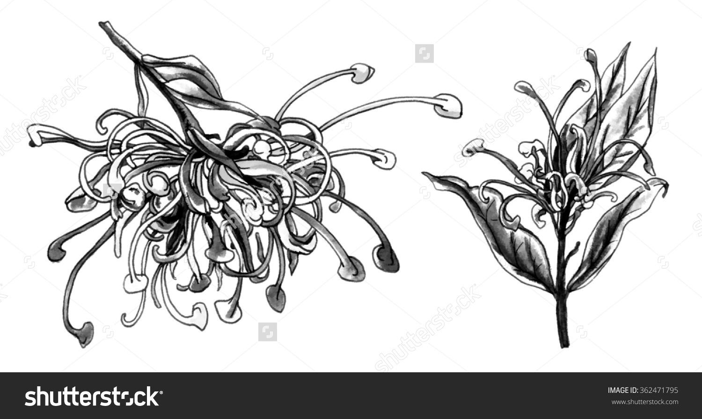 Grevillea clipart #8, Download drawings
