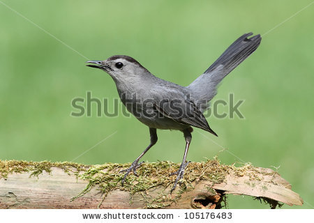 Grey Catbird clipart #10, Download drawings