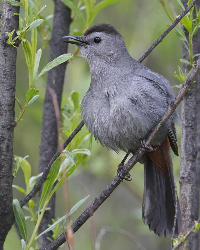 Grey Catbird clipart #13, Download drawings