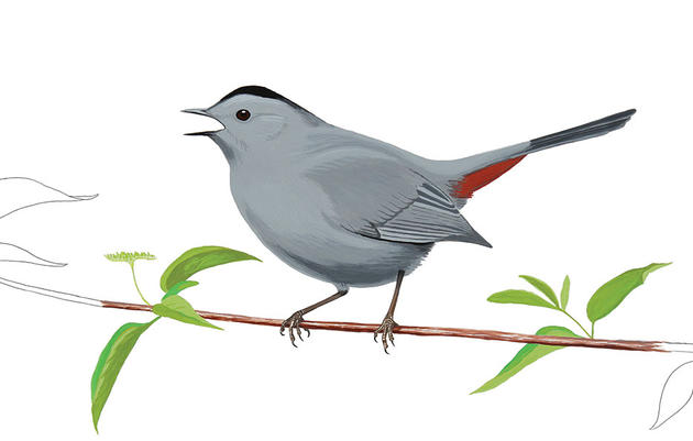 Grey Catbird clipart #16, Download drawings