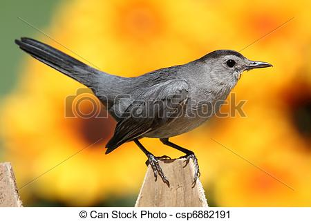 Grey Catbird clipart #9, Download drawings