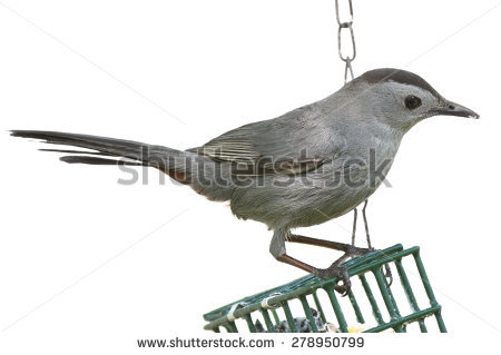 Grey Catbird clipart #5, Download drawings