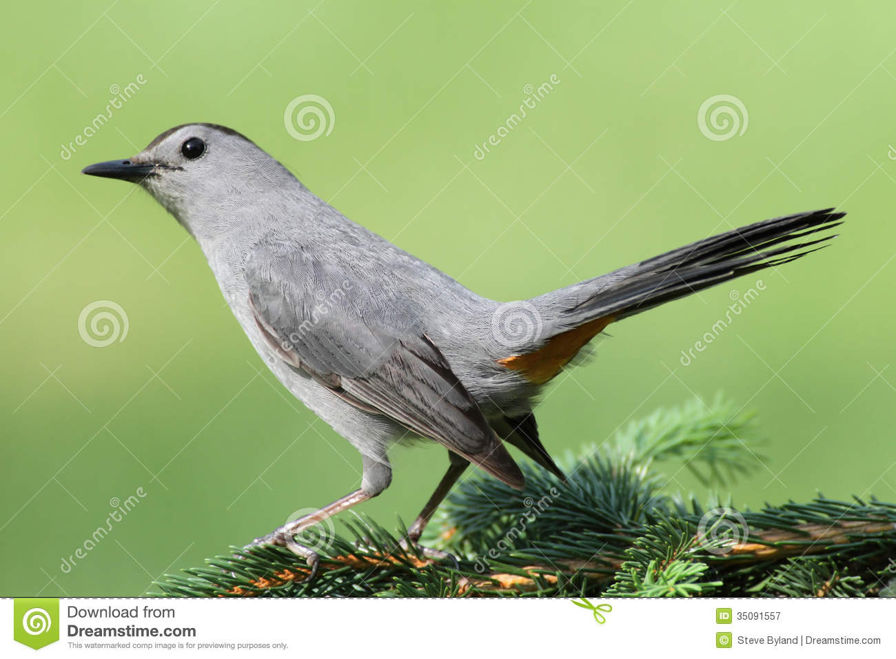 Grey Catbird clipart #6, Download drawings