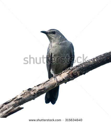 Grey Catbird clipart #4, Download drawings