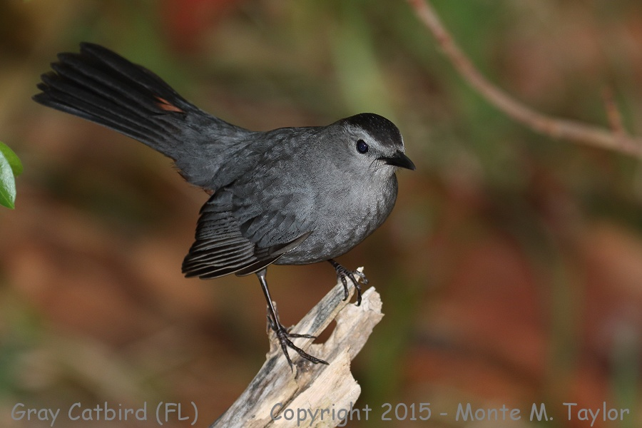 Grey Catbird clipart #2, Download drawings