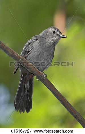 Grey Catbird clipart #18, Download drawings