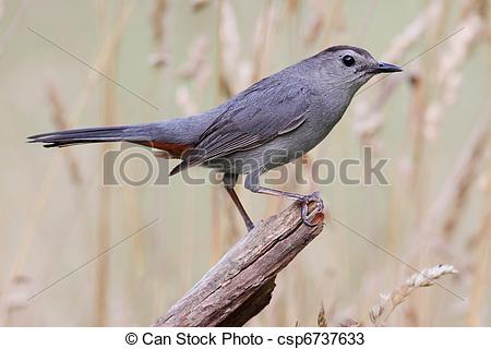 Grey Catbird clipart #15, Download drawings