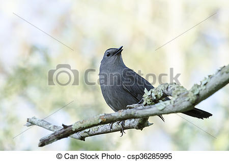 Grey Catbird clipart #14, Download drawings