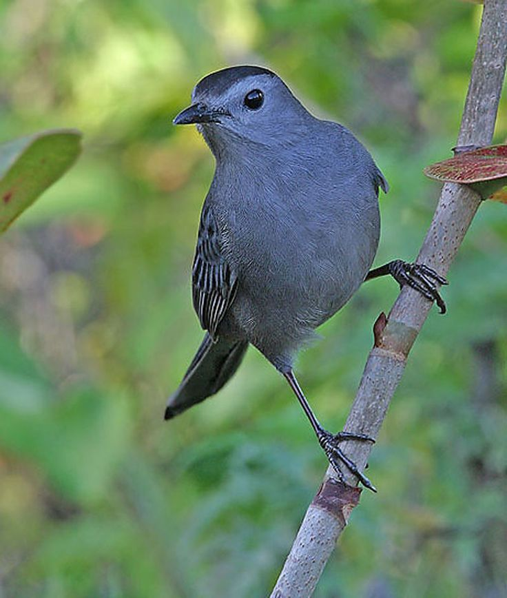 Grey Catbird clipart #1, Download drawings