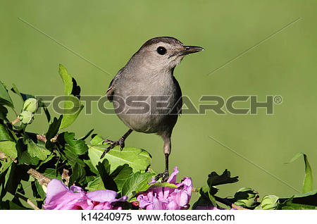 Grey Catbird clipart #12, Download drawings