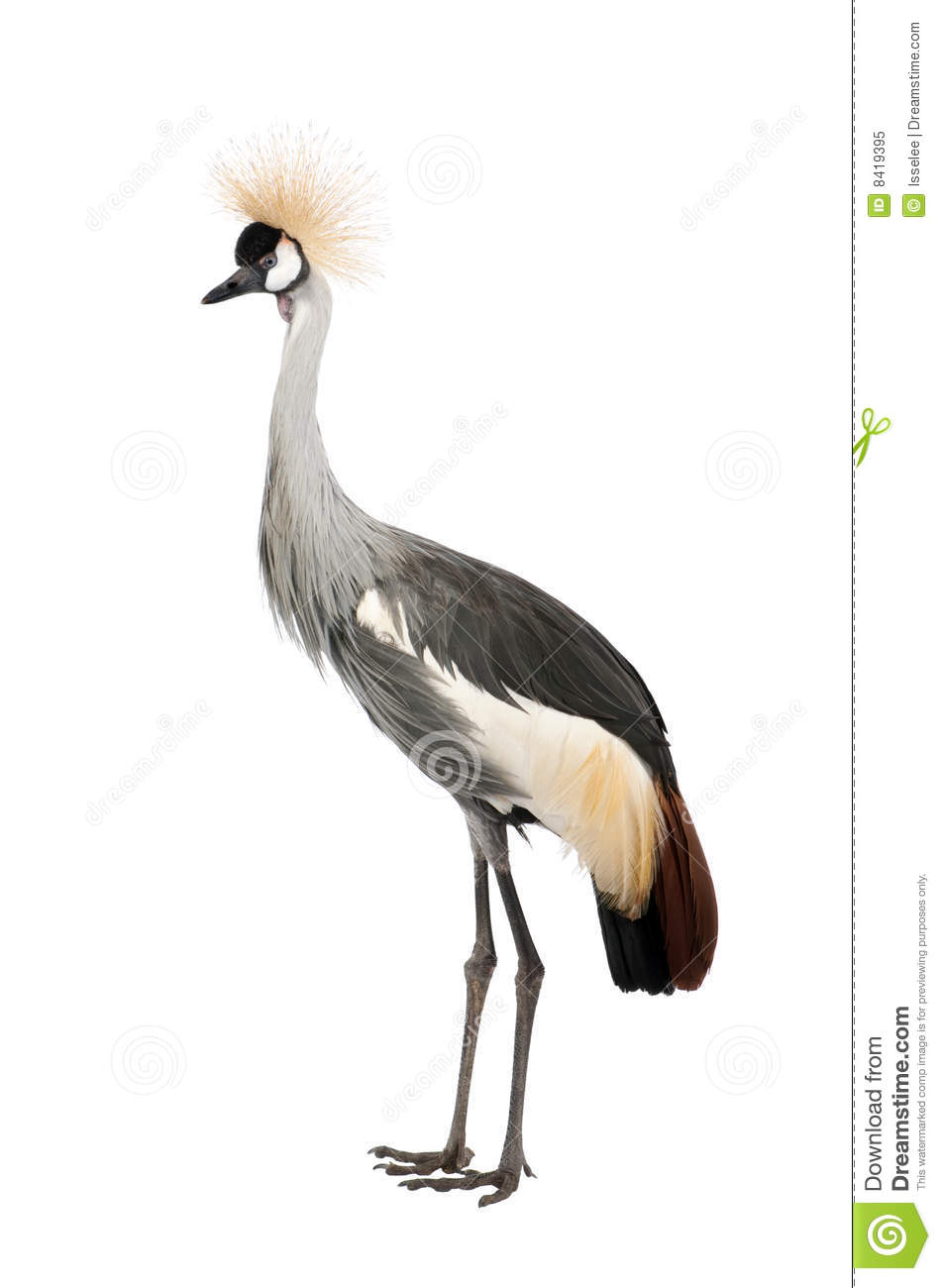 Grey Crowned Crane clipart #19, Download drawings