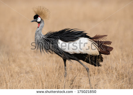 Grey Crowned Crane clipart #5, Download drawings