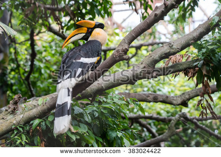 Grey Hornbill clipart #7, Download drawings