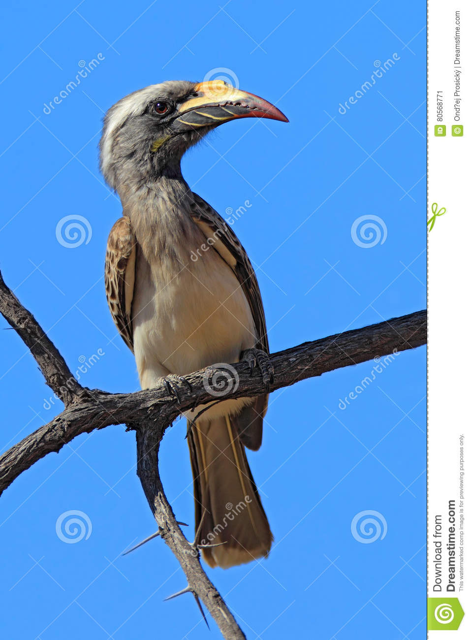 Grey Hornbill clipart #20, Download drawings
