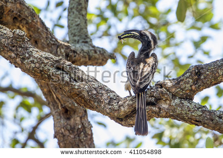 Grey Hornbill clipart #2, Download drawings