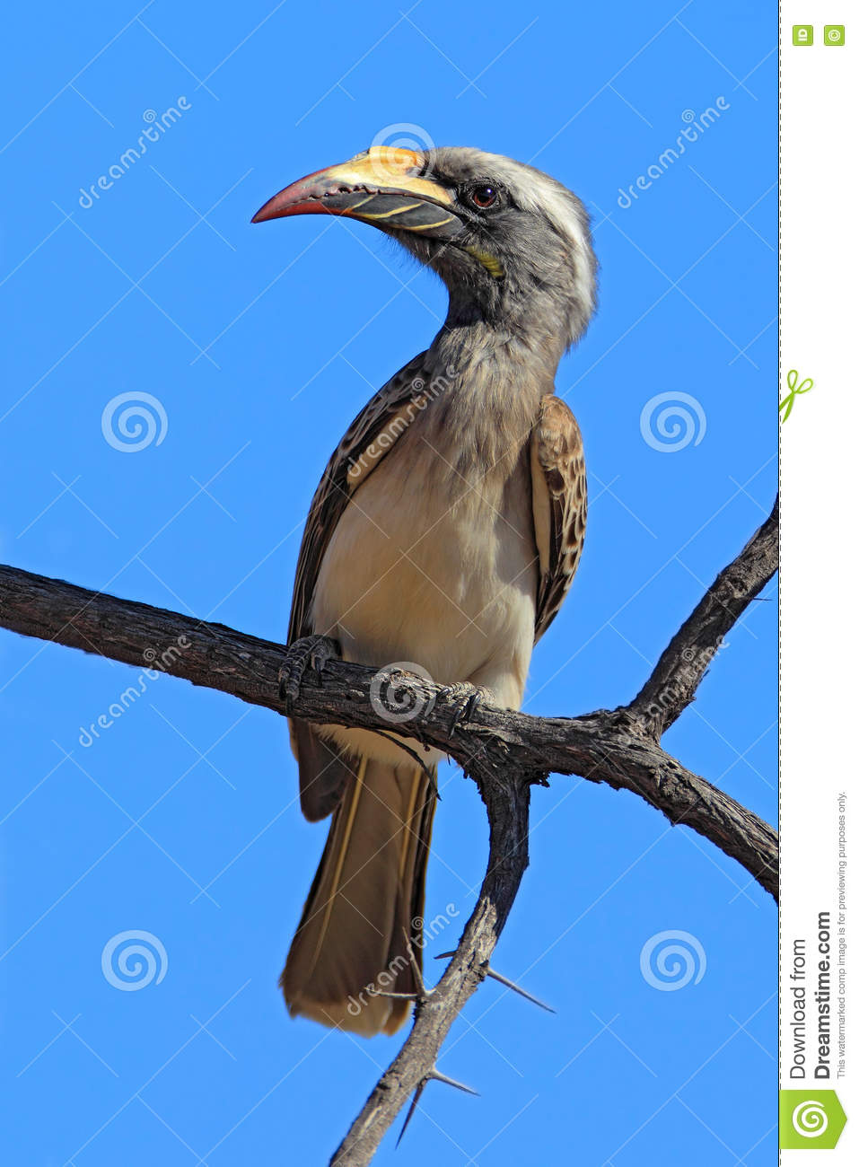 Grey Hornbill clipart #18, Download drawings