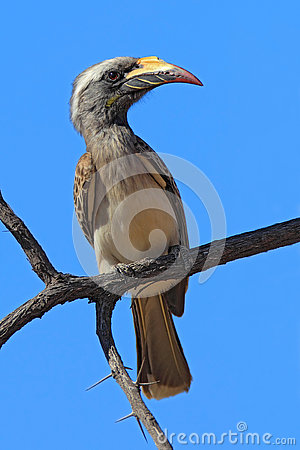 Grey Hornbill clipart #16, Download drawings