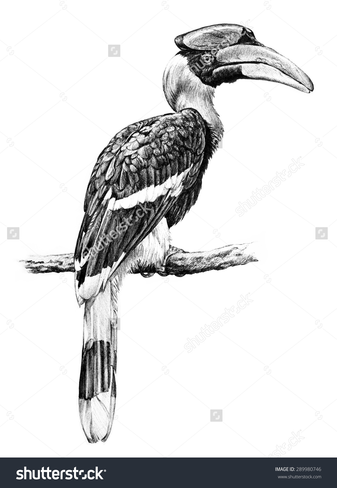 Grey Hornbill clipart #10, Download drawings