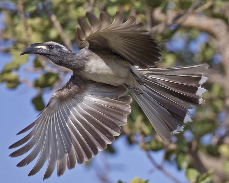 Grey Hornbill svg #6, Download drawings