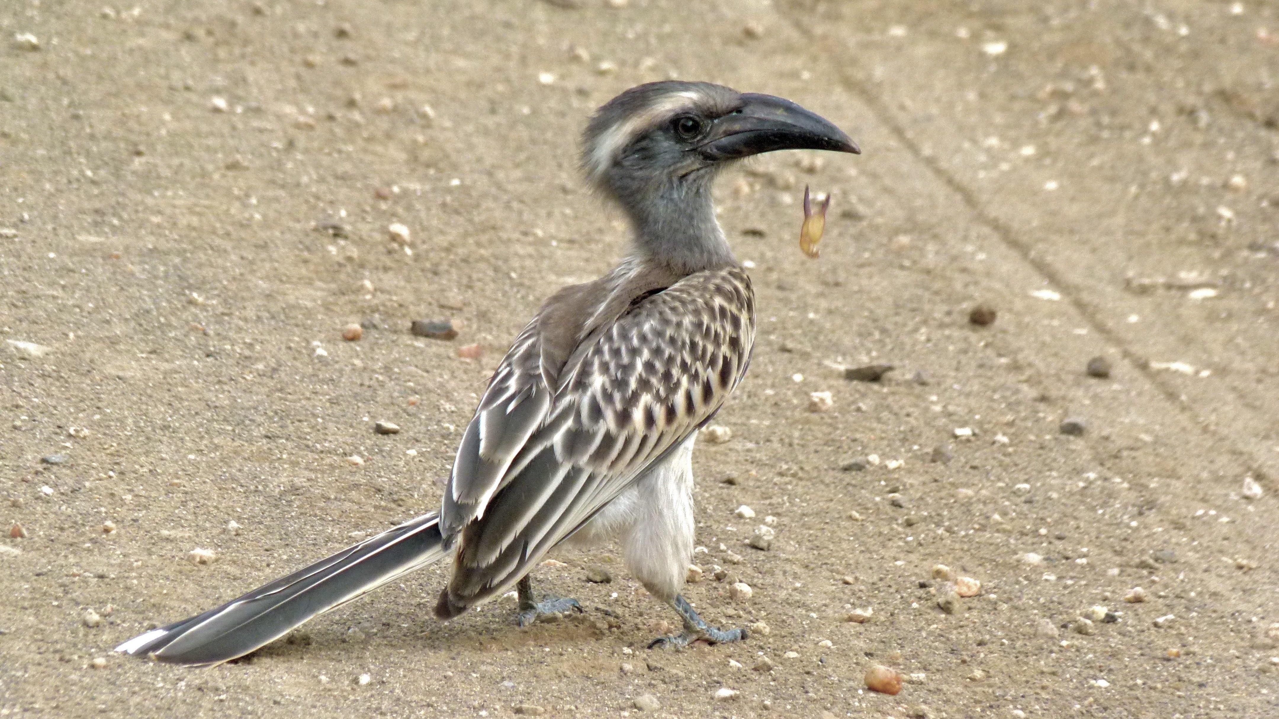 Grey Hornbill svg #14, Download drawings