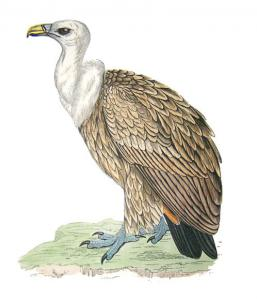 Griffon Vulture clipart #19, Download drawings