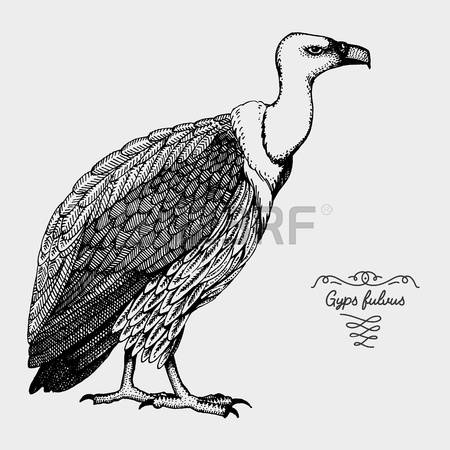 Griffon Vulture clipart #8, Download drawings