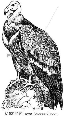 Griffon Vulture clipart #9, Download drawings