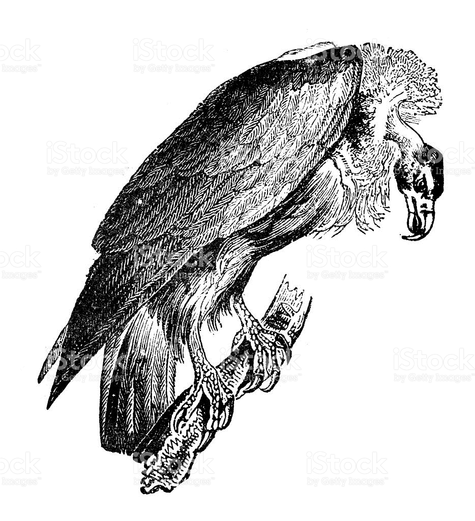 Griffon Vulture clipart #2, Download drawings
