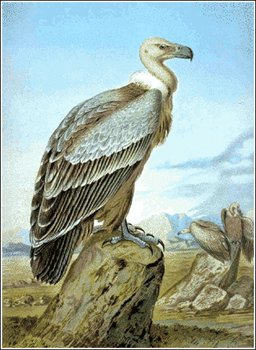 Griffon Vulture clipart #18, Download drawings