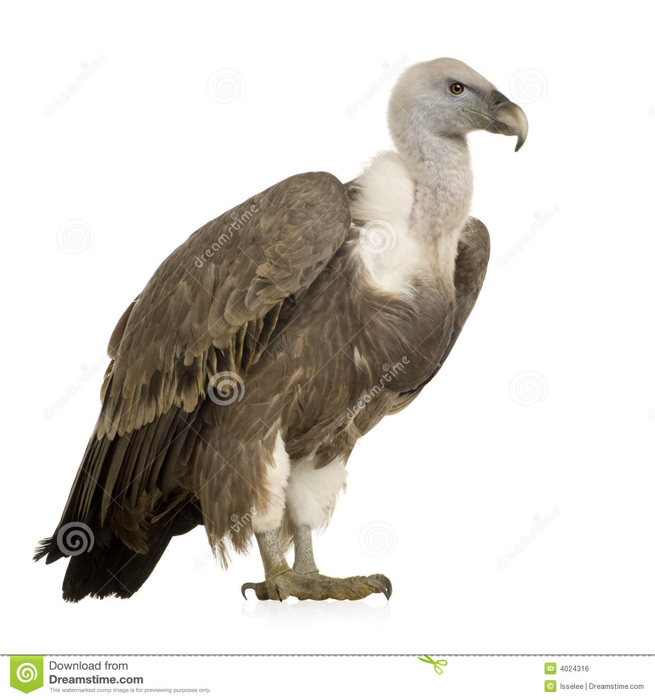 Griffon Vulture clipart #20, Download drawings