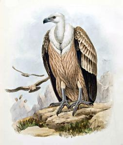 Griffon Vulture clipart #12, Download drawings