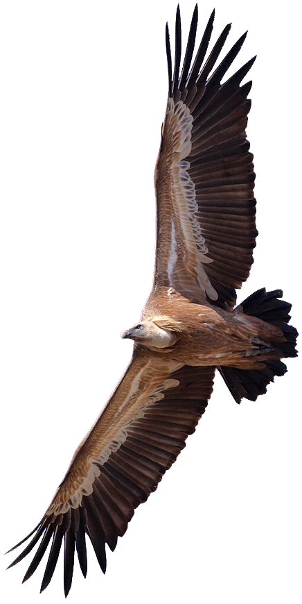 Griffon Vulture clipart #11, Download drawings