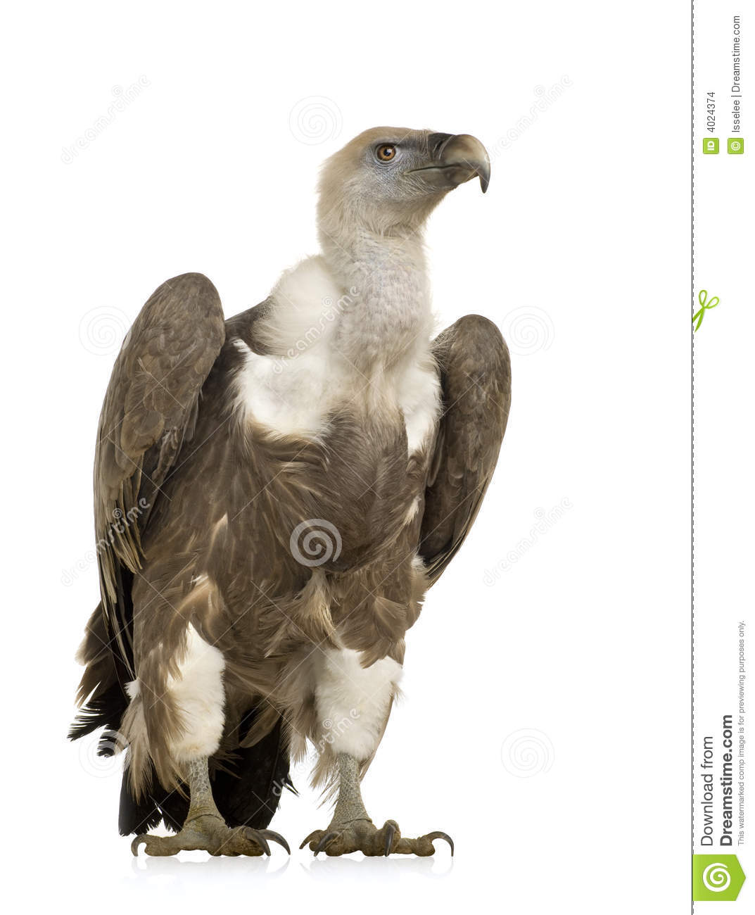 Griffon Vulture clipart #17, Download drawings