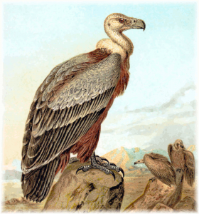 Griffon Vulture clipart #3, Download drawings