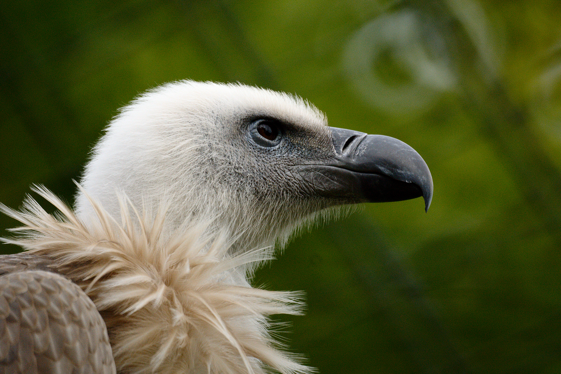 Griffon Vulture svg #1, Download drawings