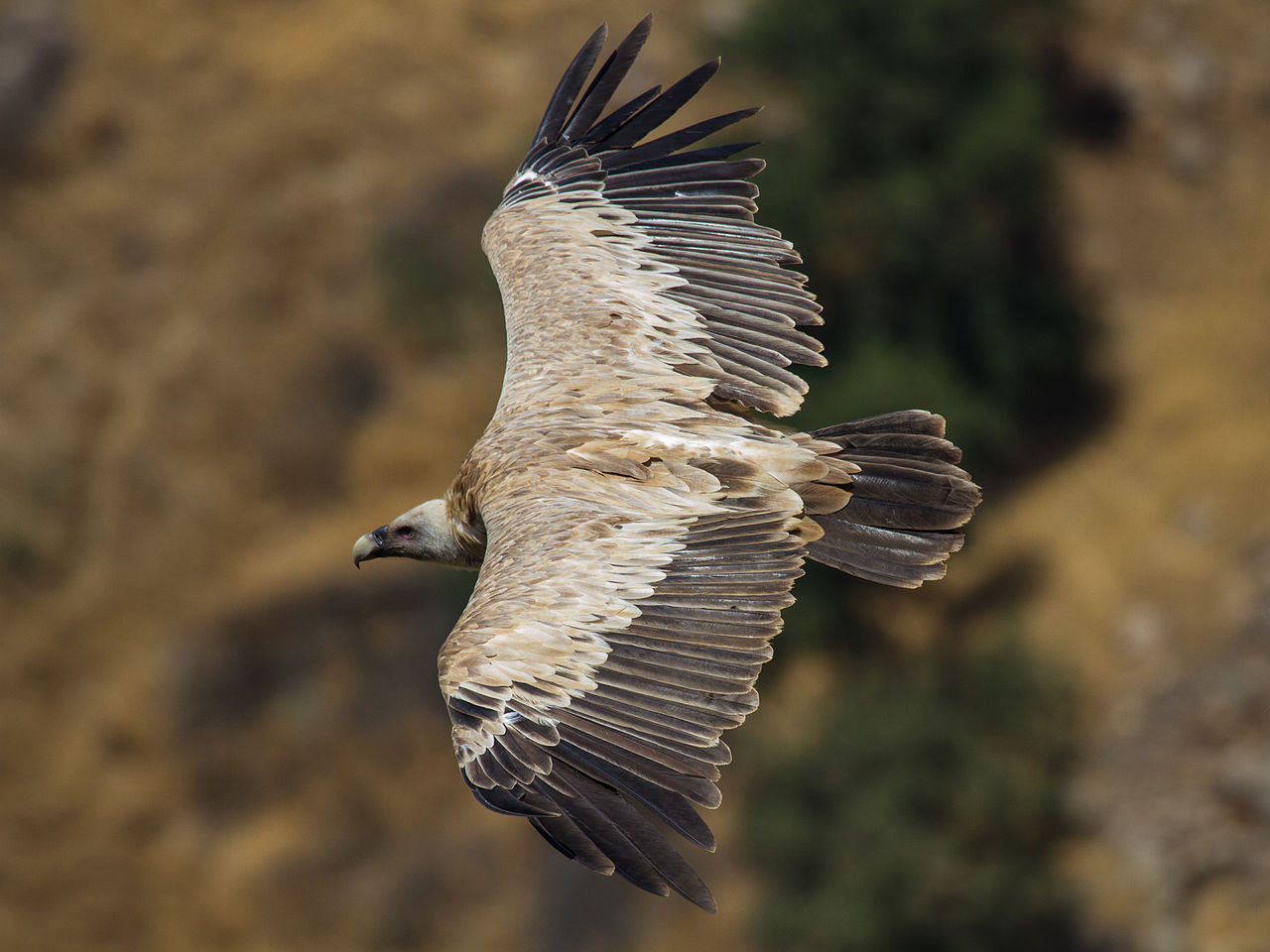 Griffon Vulture svg #3, Download drawings