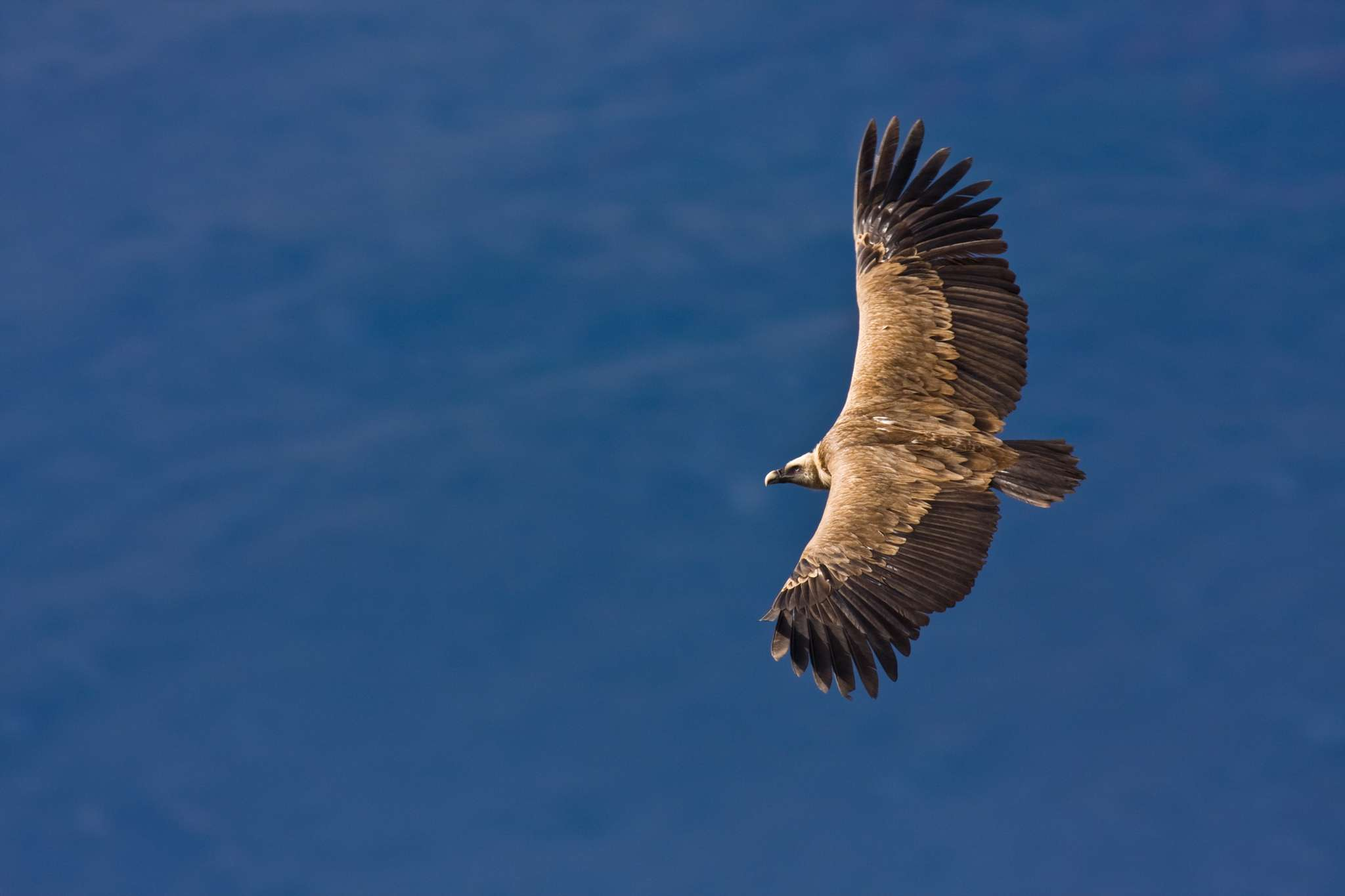 Griffon Vulture svg #5, Download drawings