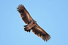 Griffon Vulture svg #4, Download drawings