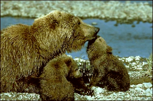 Grizzly Cubs clipart #2, Download drawings