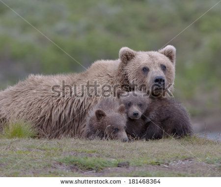Grizzly Family In Spring clipart #3, Download drawings
