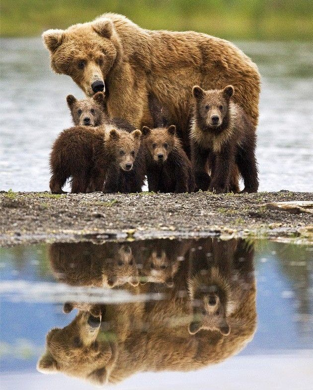 Grizzly Family In Spring clipart #20, Download drawings