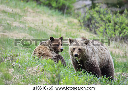 Grizzly Family In Spring clipart #13, Download drawings