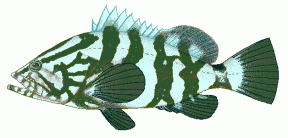 Grouper clipart #16, Download drawings