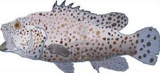 Grouper clipart #17, Download drawings