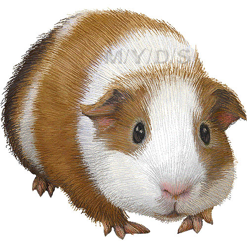 Guinea Pig clipart #1, Download drawings