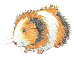 Guinea Pig clipart #2, Download drawings