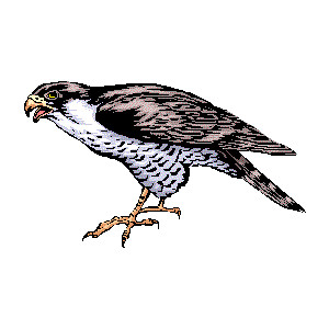 Gyrfalcon clipart #4, Download drawings
