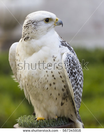 Gyrfalcon clipart #1, Download drawings